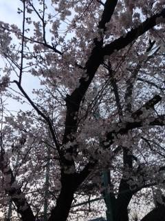 ついに桜も開花(●^o^●) 春爛漫ですねー\(^o^)/